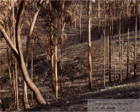 Burned Eucalyptus with New Grasses, Tierrasanta Neighborhood, San Diego, 3 Months Later
