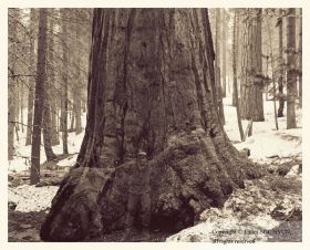 Triple Self-Portrait with Large Sequoia, Yosemite National Park
